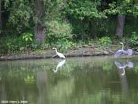 White Egret &Blue Heron