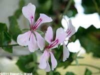 Ivy Geranium Blooms