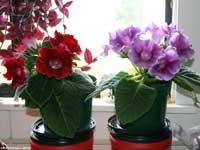 Red & Lavender Gloxinias