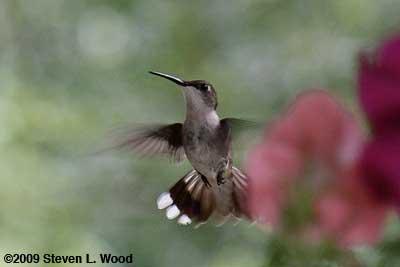 Humingbird2