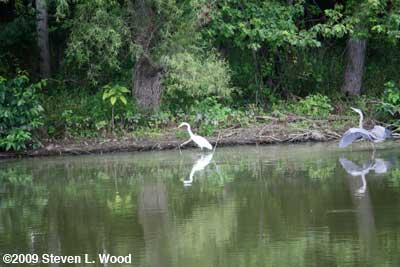 White Egret & Blue Heron