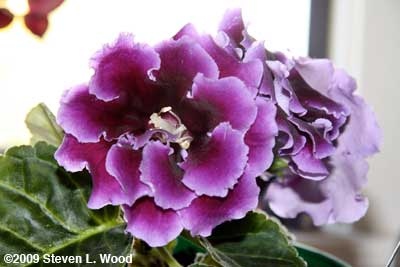 Double Brocade Gloxinia