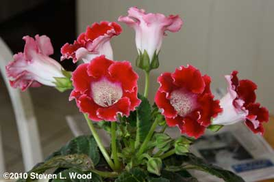 Red Gloxinia