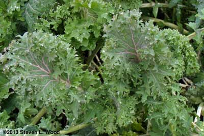 Red Ursa Kale