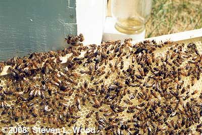Bees (circa 1983)