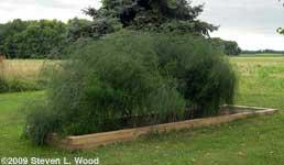 Asparagus patch