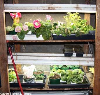 Gloxinias on plantrack