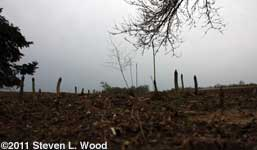 Asparagus Dark Forest