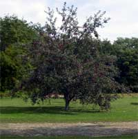 Fruit laden apple tree