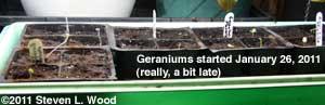 Geranium starts